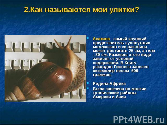 2.Как называются мои улитки? Ахатина - самый крупный представитель сухопутных моллюсков и ее раковина может достигать 25 см, а тело - 30 см. Размеры этого вида зависят от условий содержания. В Книгу рекордов Гиннеса занесен экземпляр весом 600 грамм…
