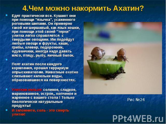 4.Чем можно накормить Ахатин?Едят практически все. Кушают они при помощи