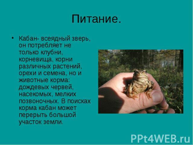Питание. Кабан- всеядный зверь, он потребляет не только клубни, корневища, корни различных растений, орехи и семена, но и животные корма: дождевых червей, насекомых, мелких позвоночных. В поисках корма кабан может перерыть большой участок земли.