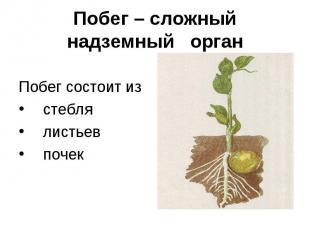 Побег – сложный надземный орган Побег состоит из стебля листьев почек