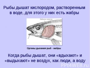 Рыбы дышат кислородом, растворенным в воде, для этого у них есть жабры Когда рыб