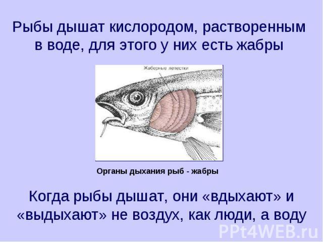 Рыбы дышат кислородом, растворенным в воде, для этого у них есть жабры Когда рыбы дышат, они «вдыхают» и «выдыхают» не воздух, как люди, а воду