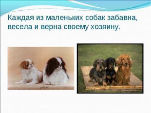 Каждая из маленьких собак забавна, весела и верна своему хозяину.