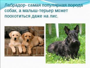Лабрадор- самая популярная порода собак, а малыш-терьер может поохотиться даже н