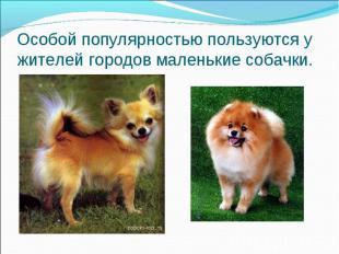 Особой популярностью пользуются у жителей городов маленькие собачки.