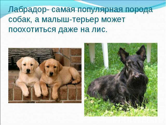 Лабрадор- самая популярная порода собак, а малыш-терьер может поохотиться даже на лис.