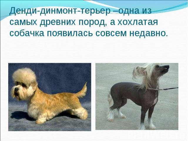 Денди-динмонт-терьер –одна из самых древних пород, а хохлатая собачка появилась совсем недавно.