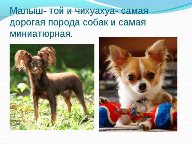 Малыш- той и чихуахуа- самая дорогая порода собак и самая миниатюрная.