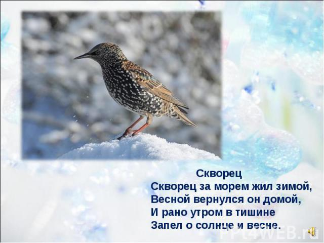 Скворец Скворец за морем жил зимой, Весной вернулся он домой, И рано утром в тишине Запел о солнце и весне.