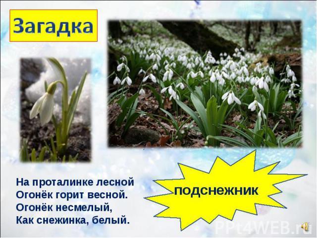 На проталинке лесной Огонёк горит весной. Огонёк несмелый, Как снежинка, белый. подснежник