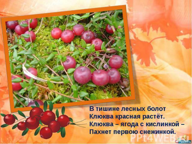 В тишине лесных болот Клюква красная растёт. Клюква – ягода с кислинкой – Пахнет первою снежинкой.
