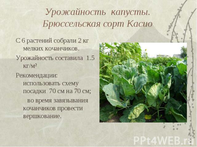 Урожайность капусты. Брюссельская сорт КасиоС 6 растений собрали 2 кг мелких кочанчиков. Урожайность составила 1.5 кг/м² Рекомендации: использовать схему посадки 70 см на 70 см; во время завязывания кочанчиков провести вершкование.