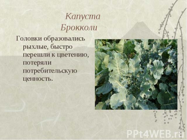 Капуста Брокколи Головки образовались рыхлые, быстро перешли к цветению, потеряли потребительскую ценность.