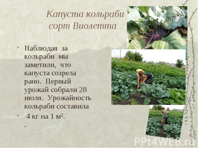 Капуста кольраби сорт Виолетта Наблюдая за кольраби мы заметили, что капуста созрела рано. Первый урожай собрали 28 июля. Урожайность кольраби составила 4 кг на 1 м². .