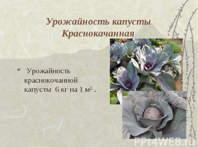 Урожайность капусты Краснокачанная * Урожайность краснокочанной капусты 6 кг на 1 м² .