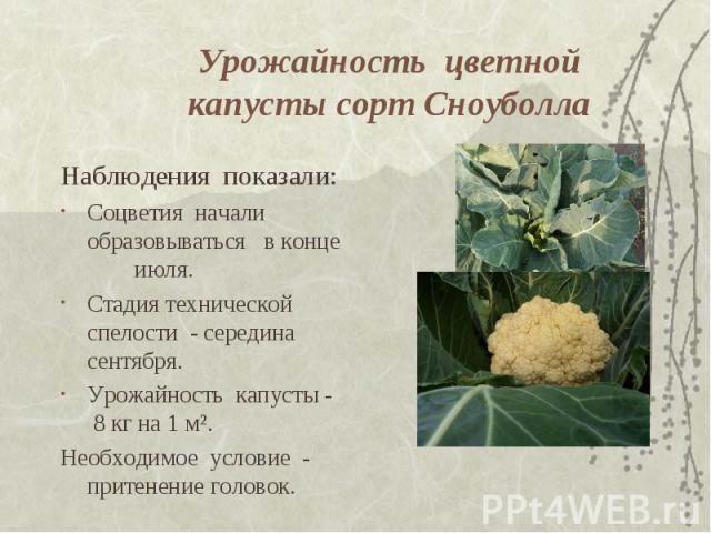 Урожайность цветной капусты сорт Сноуболла Наблюдения показали: Соцветия начали образовываться в конце июля. Стадия технической спелости - середина сентября. Урожайность капусты - 8 кг на 1 м². Необходимое условие - притенение головок.