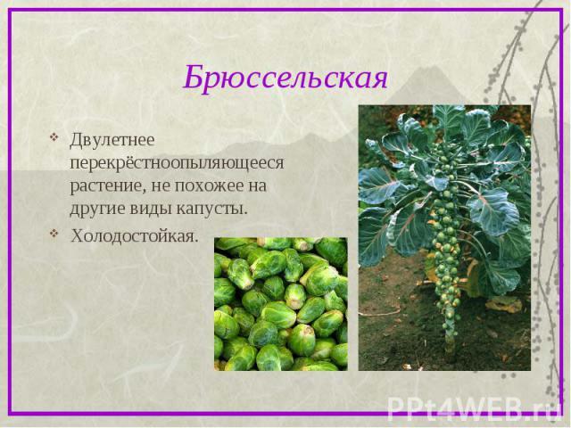 БрюссельскаяДвулетнее перекрёстноопыляющееся растение, не похожее на другие виды капусты. Холодостойкая.
