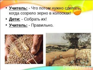 Учитель: - Что потом нужно сделать, когда созрело зерно в колосках! Дети: - Собр