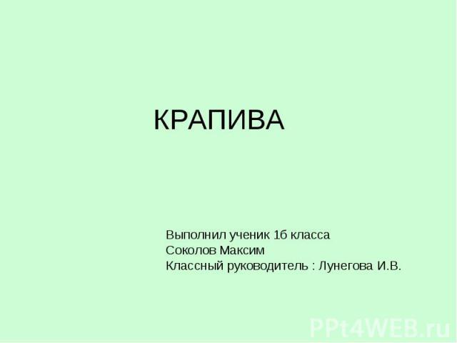 КРАПИВА Выполнил ученик 1б класса Соколов Максим Классный руководитель : Лунегова И.В.