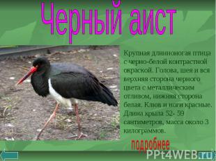 Черный аист Крупная длинноногая птица с черно-белой контрастной окраской. Голова