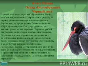 Класс Птицы Отряд Аистообразные Черный аист Черный аист ведет скрытый образ жизн