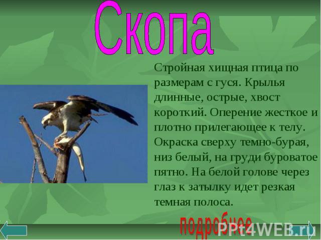 Скопа Стройная хищная птица по размерам с гуся. Крылья длинные, острые, хвост короткий. Оперение жесткое и плотно прилегающее к телу. Окраска сверху темно-бурая, низ белый, на груди буроватое пятно. На белой голове через глаз к затылку идет резкая т…