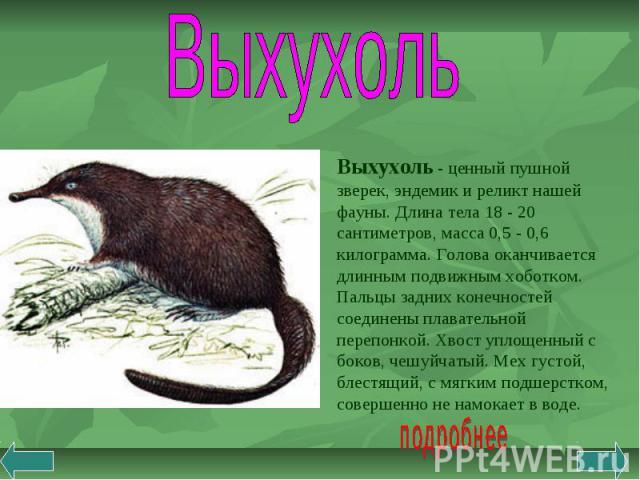 Выхухоль Выхухоль - ценный пушной зверек, эндемик и реликт нашей фауны. Длина тела 18 - 20 сантиметров, масса 0,5 - 0,6 килограмма. Голова оканчивается длинным подвижным хоботком. Пальцы задних конечностей соединены плавательной перепонкой. Хвост уп…