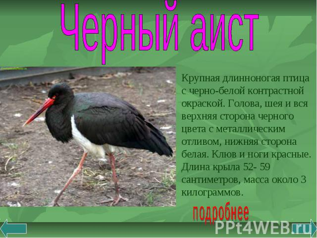 Черный аист Крупная длинноногая птица с черно-белой контрастной окраской. Голова, шея и вся верхняя сторона черного цвета с металлическим отливом, нижняя сторона белая. Клюв и ноги красные. Длина крыла 52- 59 сантиметров, масса около 3 килограммов.
