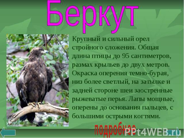 Беркут Крупный и сильный орел стройного сложения. Общая длина птицы до 95 сантиметров, размах крыльев до двух метров. Окраска оперения темно-бурая, низ более светлый, на затылке и задней стороне шеи заостренные рыжеватые перья. Лапы мощные, оперены …