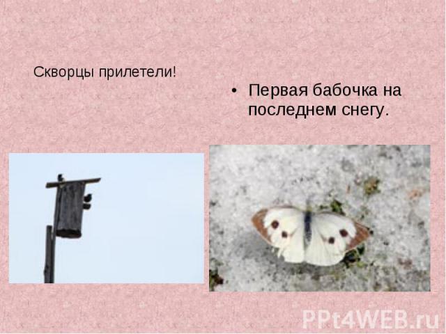 Скворцы прилетели! Первая бабочка на последнем снегу.