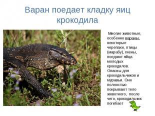Варан поедает кладку яиц крокодила Многие животные, особенно вараны, некоторые ч