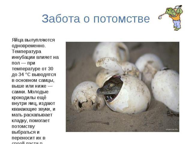 Забота о потомстве Яйца вылупляются одновременно. Температура инкубации влияет на пол — при температуре от 30 до 34 °C выводятся в основном самцы, выше или ниже — самки. Молодые крокодилы ещё внутри яиц, издают квакающие звуки, и мать раскапывает кл…