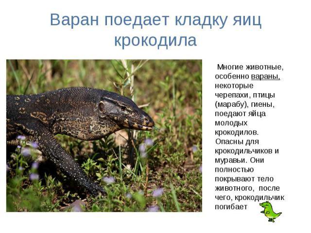 Варан поедает кладку яиц крокодила Многие животные, особенно вараны, некоторые черепахи, птицы (марабу), гиены, поедают яйца молодых крокодилов. Опасны для крокодильчиков и муравьи. Они полностью покрывают тело животного, после чего, крокодильчик погибает