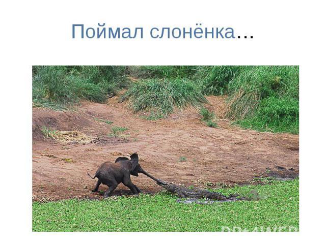 Поймал слонёнка…