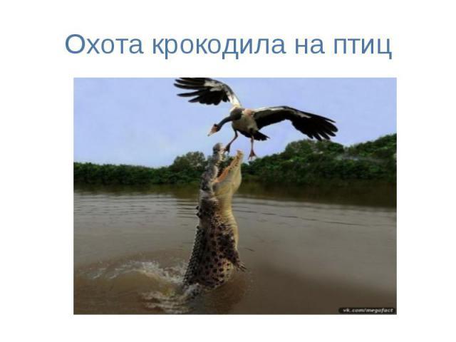 Охота крокодила на птиц