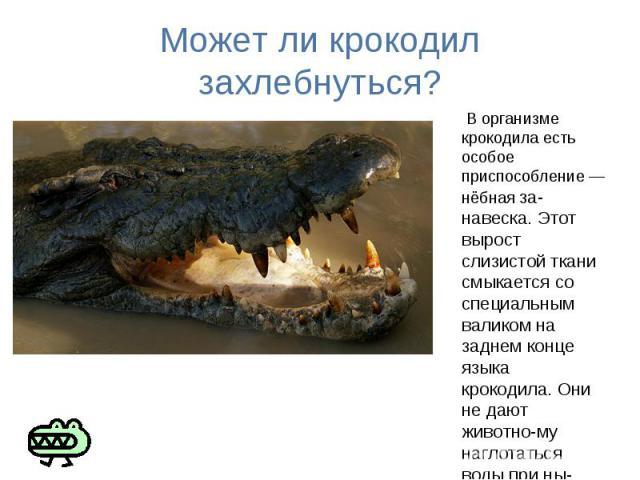 Может ли крокодил захлебнуться? В организме крокодила есть особое приспособление — нёбная за навеска. Этот вырост слизистой ткани смыкается со специальным валиком на заднем конце языка крокодила. Они не дают животно му наглотаться воды при ны рянии …