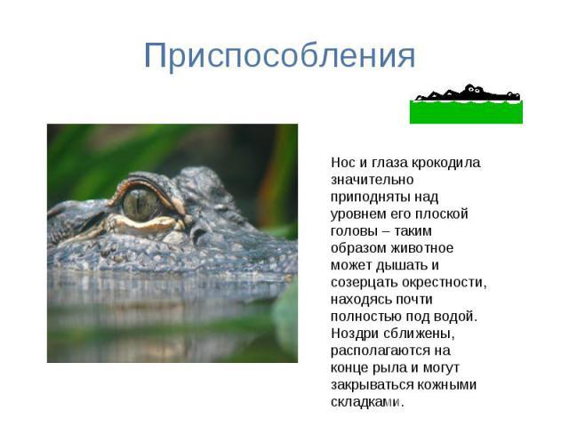 Приспособления Нос и глаза крокодила значительно приподняты над уровнем его плоской головы – таким образом животное может дышать и созерцать окрестности, находясь почти полностью под водой. Ноздри сближены, располагаются на конце рыла и могут закрыв…
