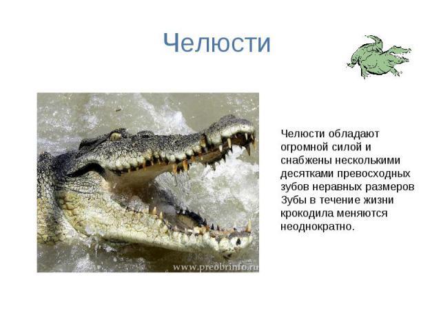 Челюсти Челюсти обладают огромной силой и снабжены несколькими десятками превосходных зубов неравных размеров Зубы в течение жизни крокодила меняются неоднократно.