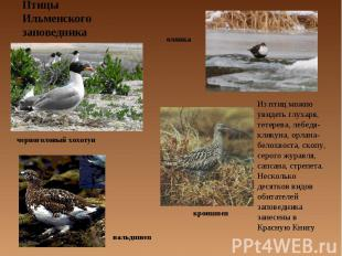 Птицы Ильменского заповедника Из птиц можно увидеть глухаря, тетерева, лебедя-кл