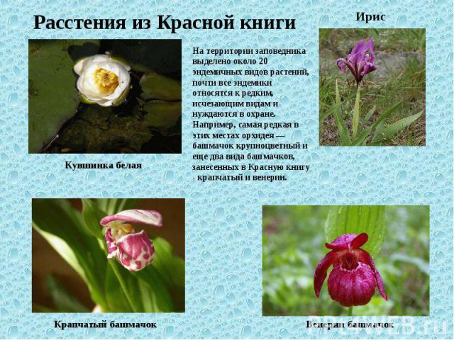 Расстения из Красной книги На территории заповедника выделено около 20 эндемичных видов растений, почти все эндемики относятся к редким, исчезающим видам и нуждаются в охране. Например, самая редкая в этих местах орхидея — башмачок крупноцветный и е…