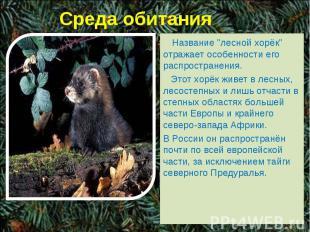 """Среда обитания Название """"лесной хорёк"""" отражает особенности его распространения."""
