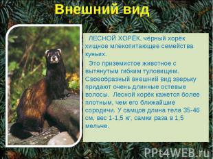 Внешний вид ЛЕСНОЙ ХОРЁК, чёрный хорёк хищное млекопитающее семейства куньих. Эт