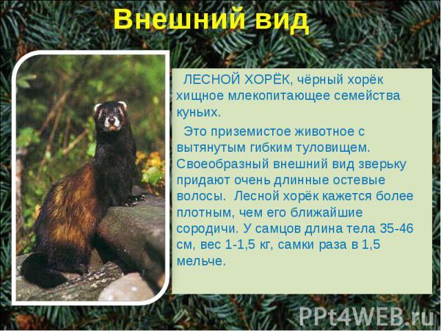 Внешний вид ЛЕСНОЙ ХОРЁК, чёрный хорёк хищное млекопитающее семейства куньих. Это приземистое животное с вытянутым гибким туловищем. Своеобразный внешний вид зверьку придают очень длинные остевые волосы. Лесной хорёк кажется более плотным, чем его б…