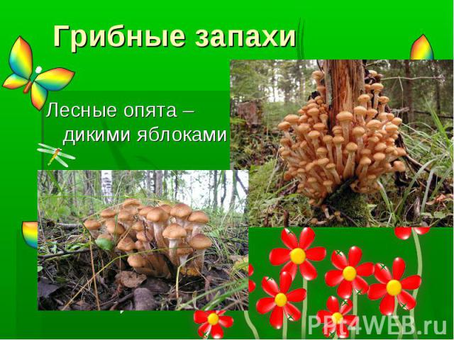 Грибные запахи Лесные опята – дикими яблоками