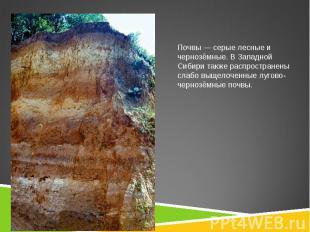 Почвы— серые лесные и чернозёмные. В Западной Сибири также распространены слабо