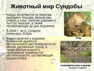 Животный мир Сундобы Бобры поселяются по берегам медленно текущих лесных рек, ст