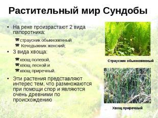 Растительный мир Сундобы На реке произрастают 2 вида папоротника: страусник обык