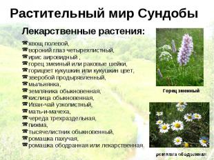 Растительный мир Сундобы Лекарственные растения: хвощ полевой, вороний глаз четы