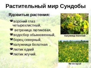 Растительный мир Сундобы Ядовитые растения: вороний глаз четырехлистный, ветрени