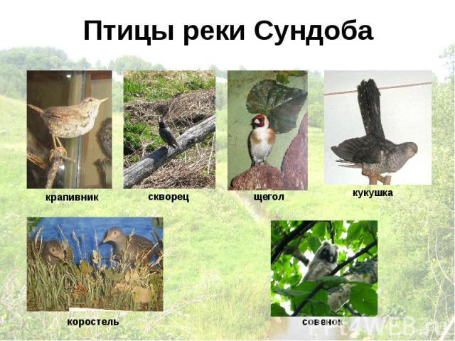 Птицы реки Сундоба крапивник скворец щегол кукушка коростель совенок